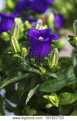 Violet Flower Of Campanula Medium, Canterbury Bells Among Green Foliage Closeup