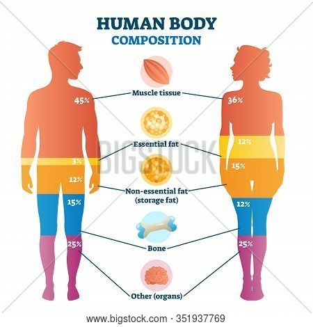 Human Body Composition Infographic, Vector Illustration Diagram. Percentage Proportions For Muscle T
