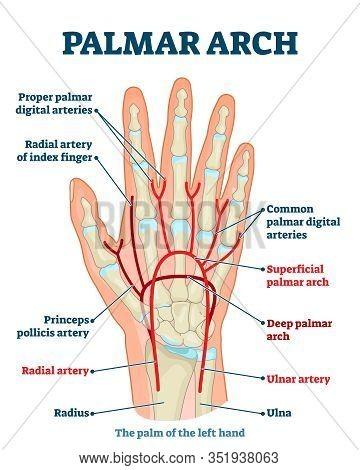 Palmar Arch Anatomical Vector Illustration Diagram. Palm Blood Vessel System. Proper Palmar Digital