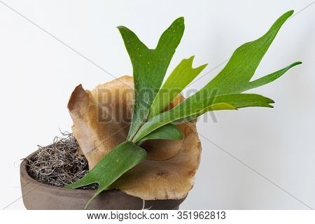 Young Staghorn Fern with Brown Sterile Shield