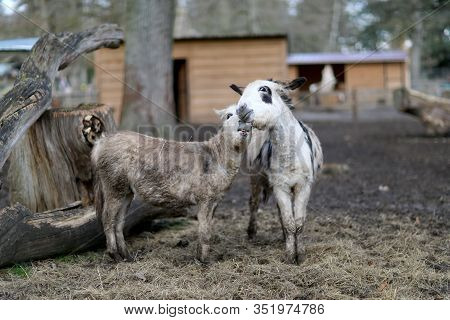 Pets Donkey Standing Bored On Dirty Grass In Zoo With Short Thin Legs. Pets Donkey Consists Of Thick