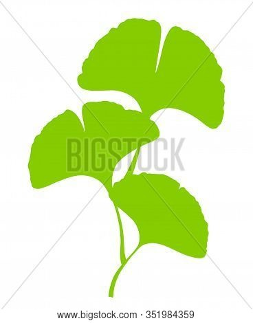 Ginkgo Or Gingko Biloba Branch With Leaves. Nature Botanical Vector Illustration, Herbal Medicine Gr