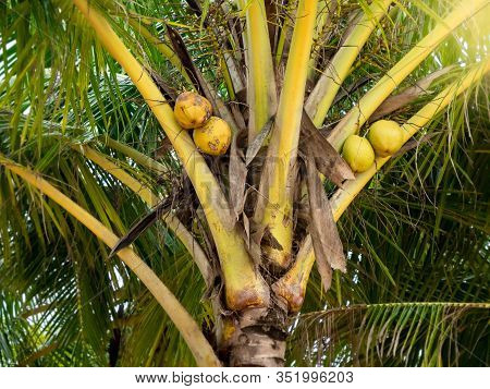 Closeup Photo Of Yellow Tasty Coconuts Growing On Palm Tree In Jungle Forest