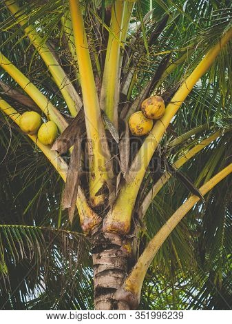 Toned Photo Of Yellow Coconuts Growing On The Palm Tree At Jungle Forest