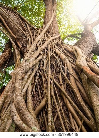 Closeup Photo Of Vines Weaving Big Ficus Tree In Tropical Jungle Forest