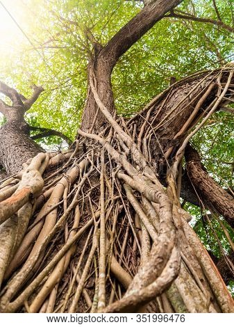 Beautiful Image Of Vines And Roots Weaving Big Tree In Tropical Jungle Forest