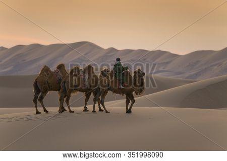Camels And Owner Are Walking On Gobi Desert In Mongolia At Dusk