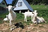 herd of the nanny goats in mountains farm poster
