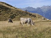 Cows grazing on an alpine pasture Tamaro mountain - Ticino - Switzerland poster