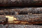 Rough logs await the processing of stripping the bark and being turned into lumber poster