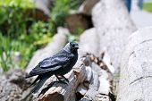western jackdaw sits outdoors on the wood poster