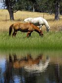 Grazing ranch horses reflected in Summer pond. poster