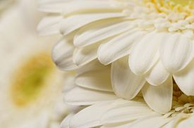 White Flower Aster, Petals Close Up, Macro Nature Background
