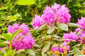 Sunny Spring Day Blooming Flowers Rhododendrons In The Leaves