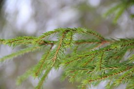 Green Spruce Twig With Needles On Blurred Forest Background. Stock Photo For Web, Ptint, Background