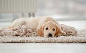 Lovely golden retriever puppy lying on rug near feeding bowl at home