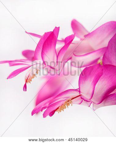 indoor herb - purple flower of Zygocactus buckleyi poster