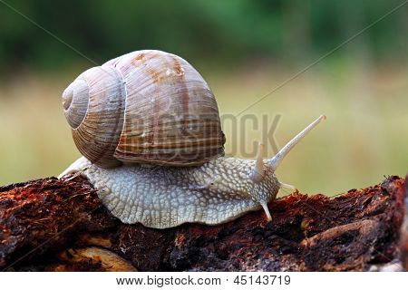 Snail In Nature