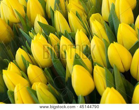 Soft Focus Yellow Tulips