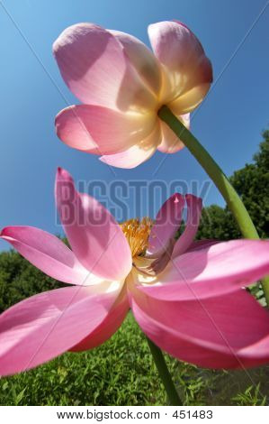 Pair Of Lotus