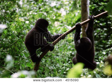 Juvenile Mountain Gorillas At Play