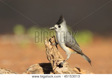 Black-crested Titmouse - Texas