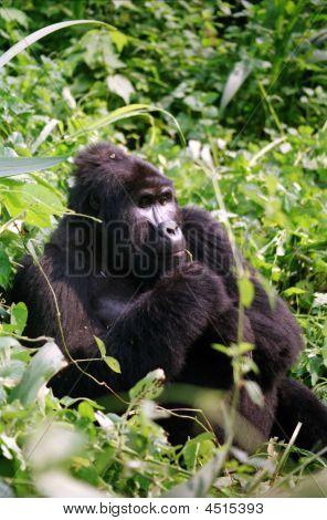 Mountain Gorilla In Thinking Man Pose