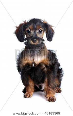 Puppy of decorative breed. Small doggie. Puppy of the Petersburg orchid. Small puppy on a white background. poster