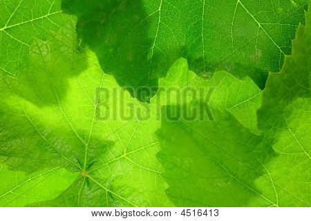 Grape Leaf Background