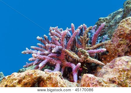 coral reef with hard coral violet acropora at the bottom of red sea in egypt poster