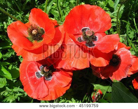 beautiful red flower of red poppy