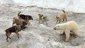 Dogs attacking polar bear poster
