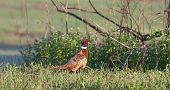 A Ring-necked Pheasant heads for cover in tall grass. poster