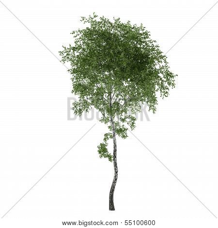 Tree isolated. Young Ulmus