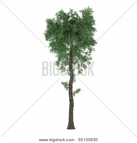 Tree isolated. Populus x canescens