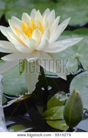 Lotus Blossom In Lily Pond-vertical