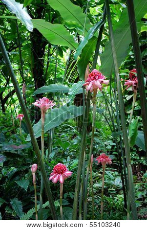 Pink Torch Ginger flowers