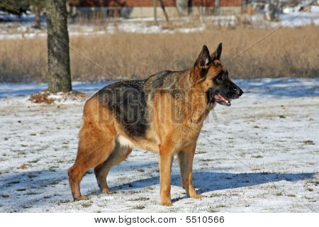 German Shepherd Male Standing Side Shot in Winter poster
