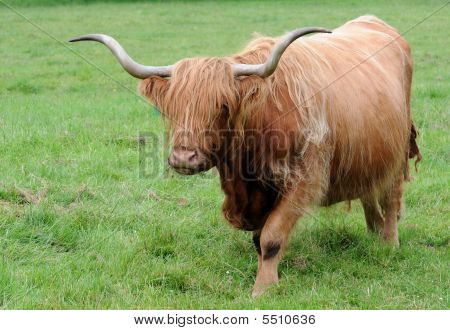 Scottish Highland Cattle walking across grassy meadow poster