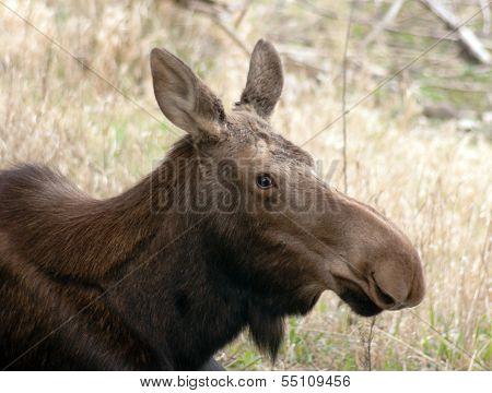 Big Cow Moose Northern Alaska Wild Animal Wildlife Portrait