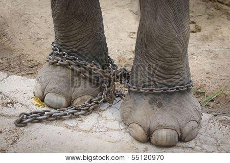 Chained Leg Elephant