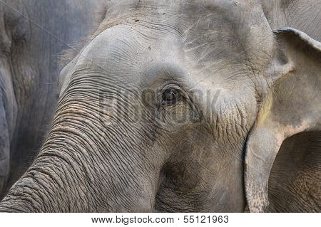 Closeup Of Elephant Head