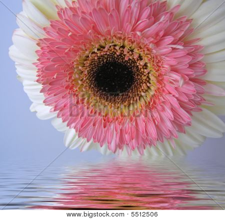 Double Gerbera Reflecting In Water Ripples