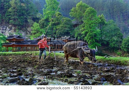 Chinese Peasant Farmer, Grower Plowed Field, Using The Force Buffalo.