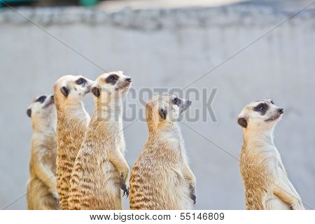Portrait Of  Meerkat On White Background