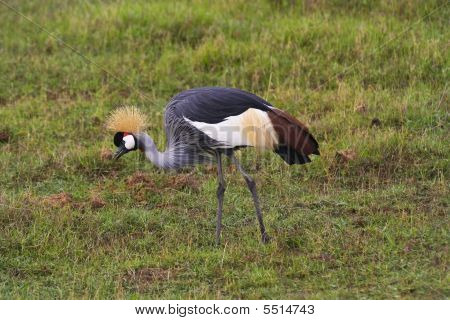 a crowned crane balearica regulorum gibbericeps in amboseli national park kenya poster