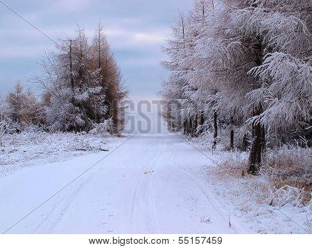 Forest Covered With Frost
