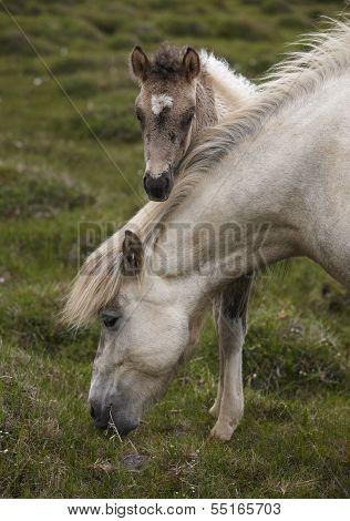 Icelandic horse grazing and colt at Vatnsnes Peninsula Iceland poster