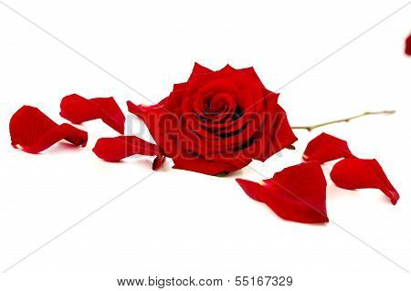 Red Rose And Petals On White
