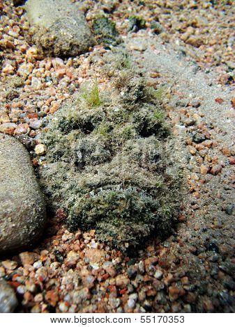 Buried stonefish